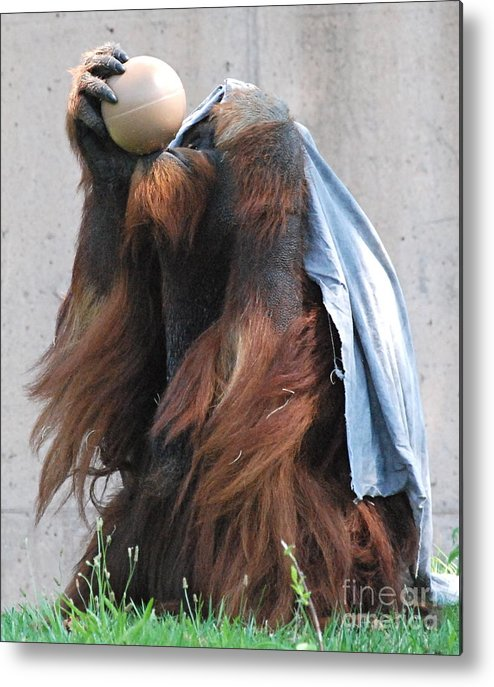 Orangutan Metal Print featuring the photograph King Of The Ball by Kathy Gibbons
