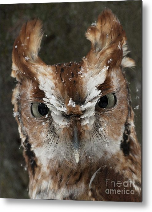 Screech Owl Metal Print featuring the photograph Screech Owl Portrait by Emma England