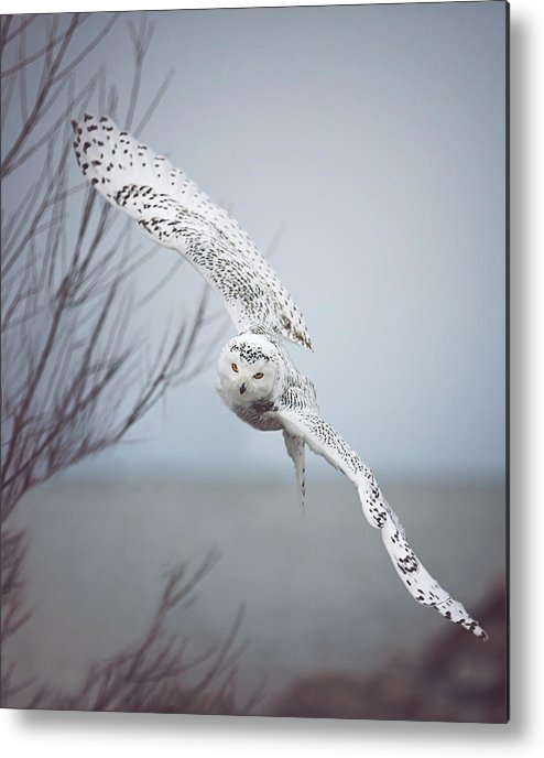 Wildlife Metal Print featuring the photograph Snowy Owl In Flight by Carrie Ann Grippo-Pike