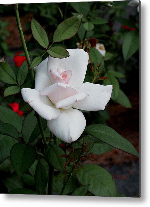 Pink Roses Metal Print featuring the photograph The Pink Rose by James C Thomas