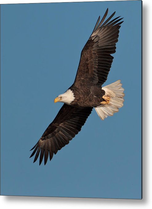 Vertical Metal Print featuring the photograph Bald Eagle by Straublund Photography