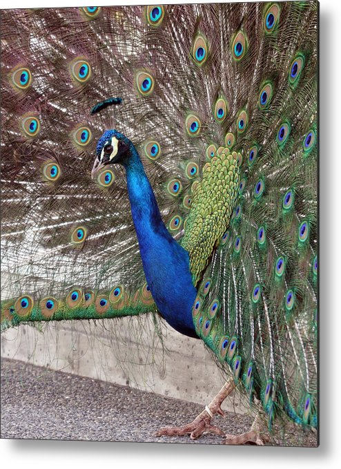 Point Defiance Metal Print featuring the photograph Peacock - 0014 by S and S Photo