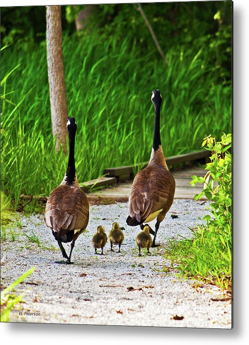 Canada Goose Metal Print featuring the photograph A Family Stroll by Edward Peterson