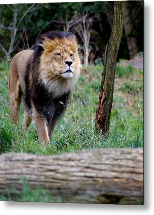 Zoo Metal Print featuring the photograph Dominance by Sonja Anderson
