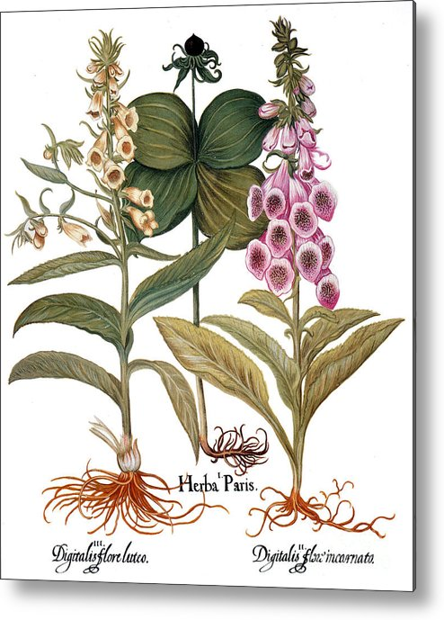 1613 Metal Print featuring the photograph Foxglove And Herb Paris by Granger
