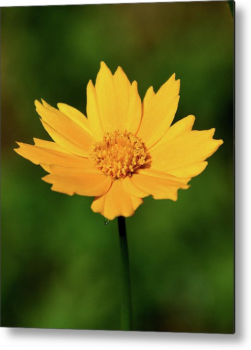 Ann Keisling Metal Print featuring the photograph Gold In The Garden by Ann Keisling