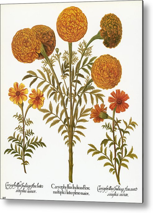 1613 Metal Print featuring the photograph Marigolds, 1613 by Granger