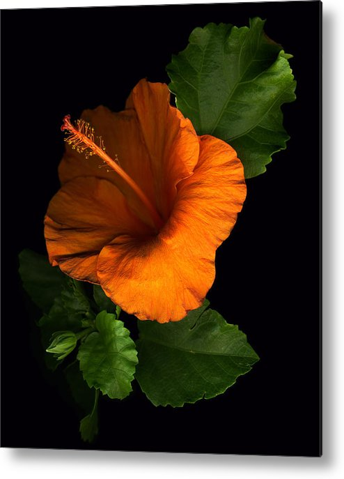 Hibiscus Metal Print featuring the photograph Outrageous Orange by Deborah J Humphries