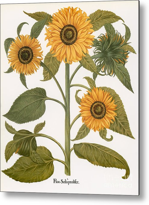 1613 Metal Print featuring the photograph Sunflower by Granger