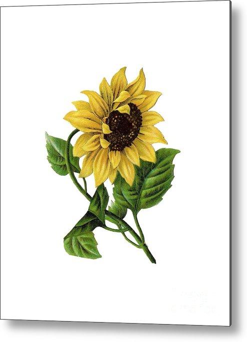 vintage sunflower drawing metal print by anne kitzman