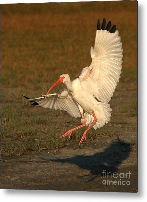 Ibis Metal Print featuring the photograph White Ibis Landing Upon Ground by Max Allen