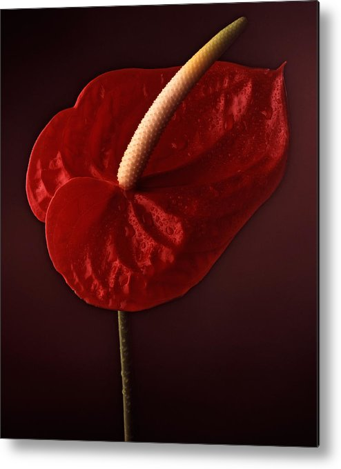 Still Life Metal Print featuring the photograph Anthurium by Joseph Gerges
