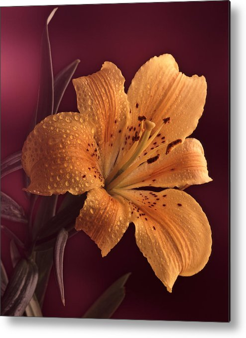 Still Life Metal Print featuring the photograph Lily 14 by Joseph Gerges