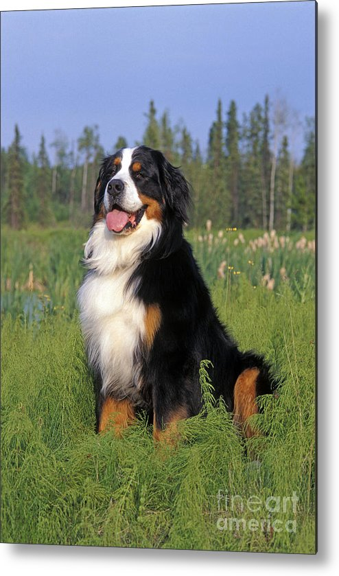 Bernese Mountain Dog Metal Print featuring the photograph Bernese Mountain Dog by Rolf Kopfle