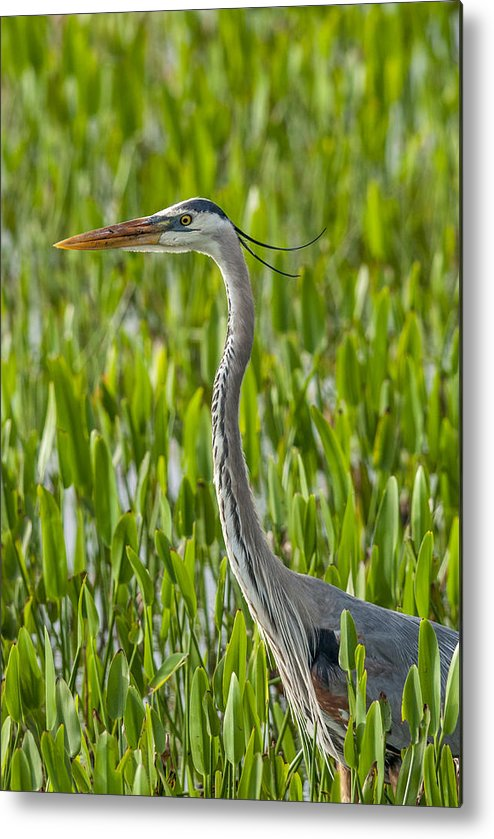 Orlando Wetlands Park Metal Print featuring the photograph Orlando Wetlands Great Blue Heron by Art Spearing