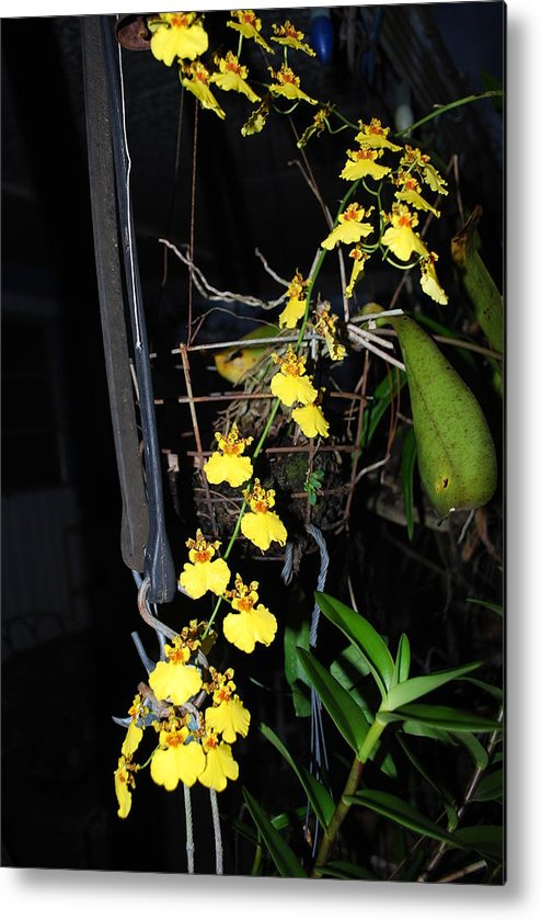 Dancing Lady Metal Print featuring the photograph Orchid by Robert Floyd