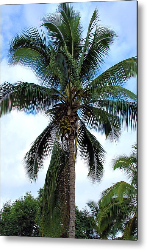 Coconut Metal Print featuring the photograph Coconut Palm Tree by Karon Melillo DeVega