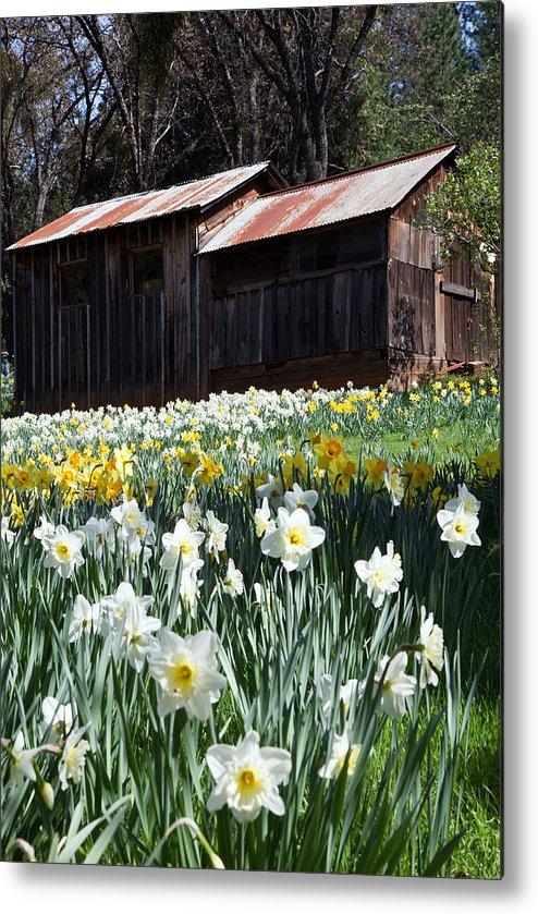 Barn Metal Print featuring the photograph Daffodil Hill by Joe Fernandez