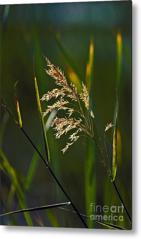 Dry Grass Metal Print featuring the photograph Dry Grass by Howard Stapleton