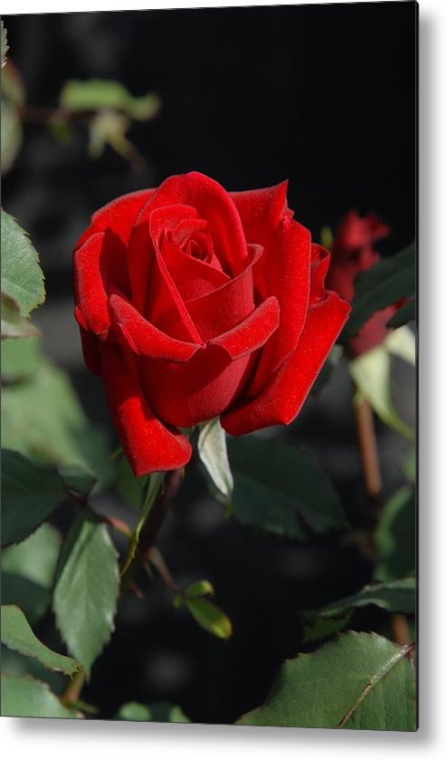 Rose Metal Print featuring the photograph Flowers 452 by Joyce StJames