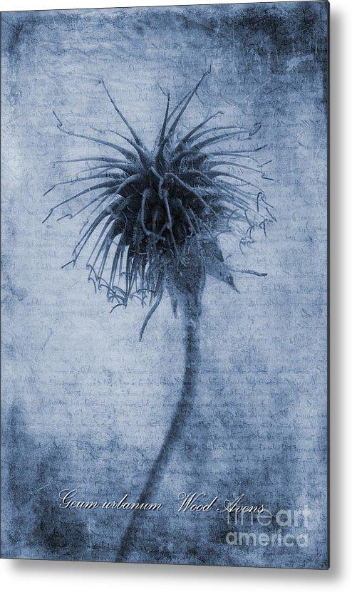 Wood Avens Metal Print featuring the photograph Geum Urbanum Cyanotype by John Edwards