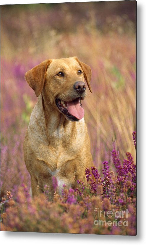 Labrador Metal Print featuring the photograph Labrador Dog by John Daniels