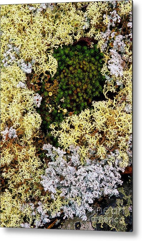Reindeer Moss Metal Print featuring the photograph Reindeer Moss And Lichens by Randy Beacham