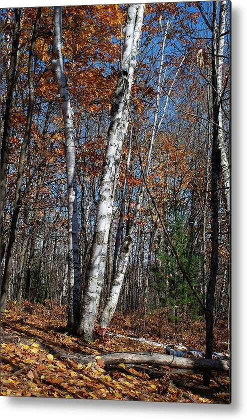 Birch Metal Print featuring the photograph A Birch Radiating Its White Beauty In The Forest by Janice Adomeit