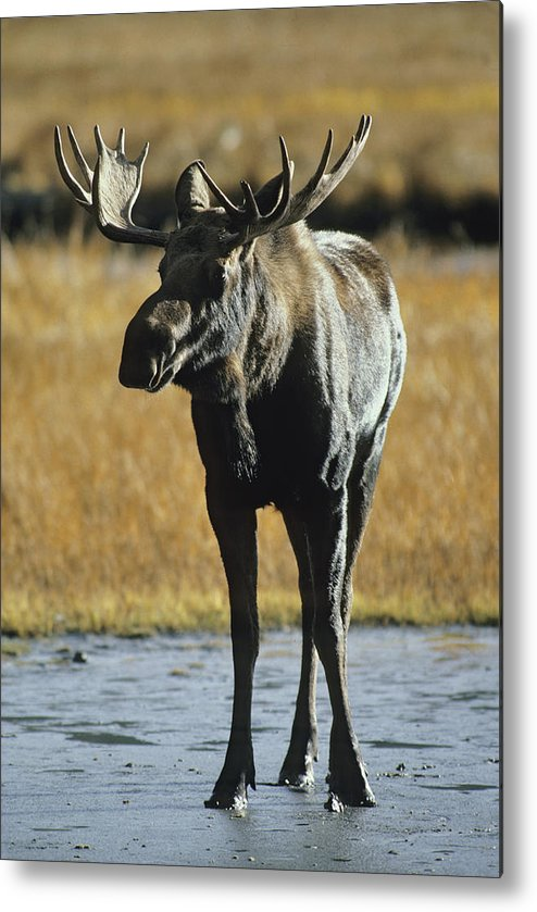 North America Metal Print featuring the photograph A Young Bull Moose by George F. Herben