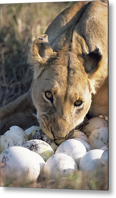 Npl Metal Print featuring the photograph African Lion Panthera Leo Raiding by Peter Blackwell