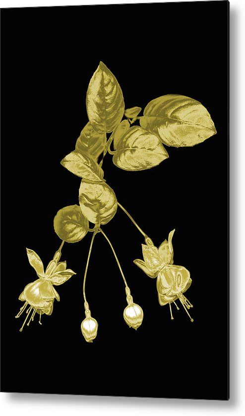 Vertical Metal Print featuring the photograph Gold Fuchsia Flowers On A Black Background by Mike Hill