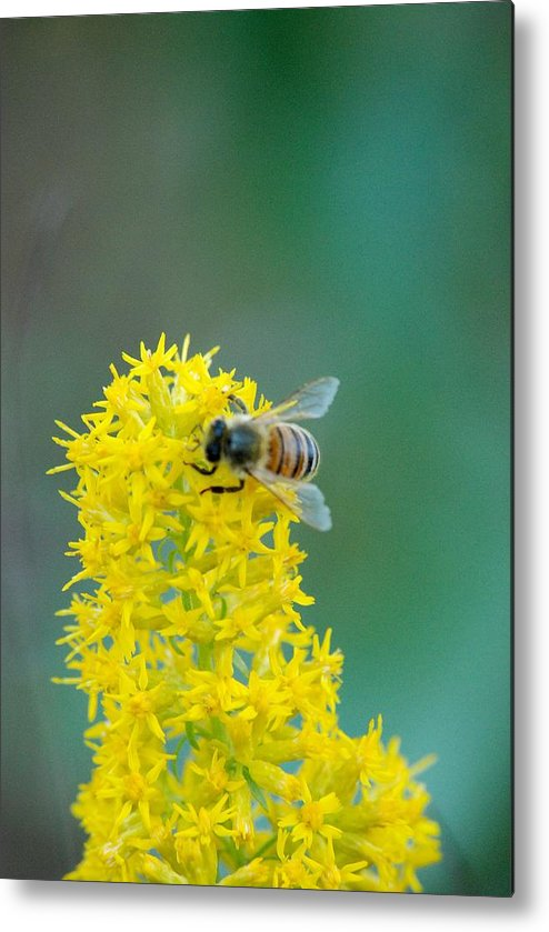 Flowers Bee Honey Bee Metal Print featuring the photograph Goldenrod Visitor 3 by Michael Peychich