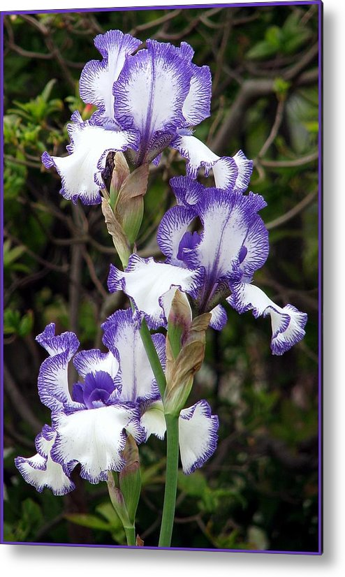 Metal Print featuring the photograph Iris by Chris Anderson