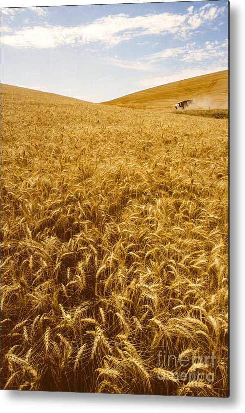 Wheat Metal Print featuring the photograph Palouse Wheat by Photo Researchers