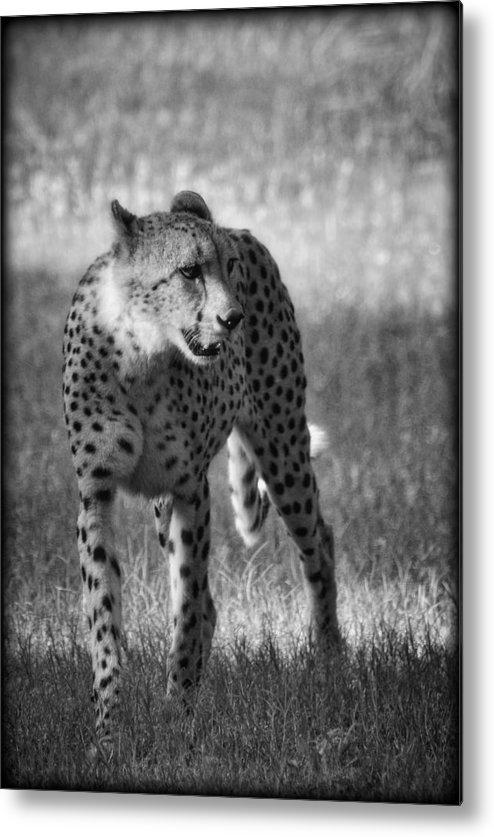 Cheetah Metal Print featuring the photograph The Cheetah by Saija Lehtonen