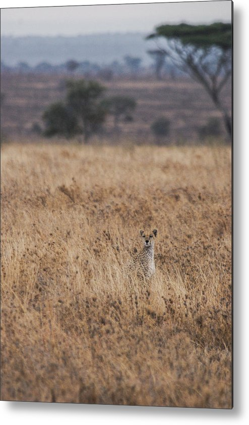 Cheetah Metal Print featuring the photograph Cheetah In The Tall Grass by Marc Levine