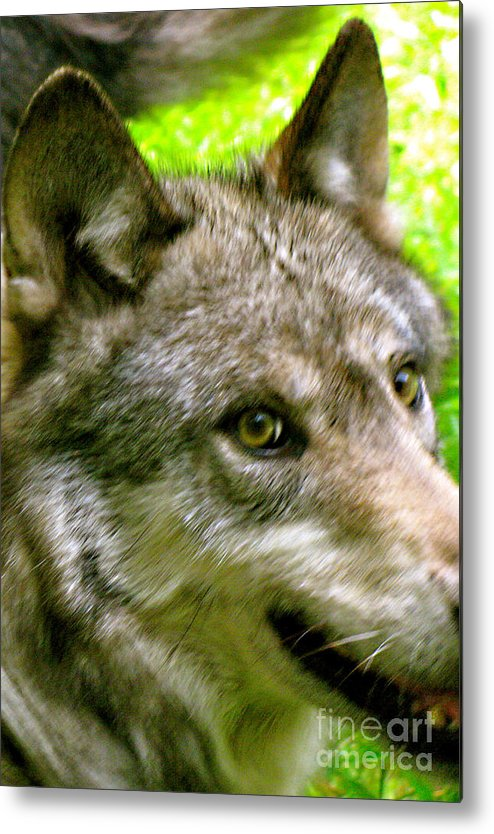 Wild Wolves Group A Metal Print featuring the photograph The Wild Wolve Group A by Debra   Vatalaro