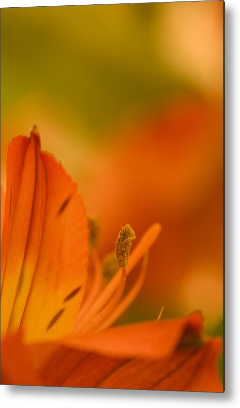 Flower Metal Print featuring the photograph Alstroemeria I by Andreas Freund