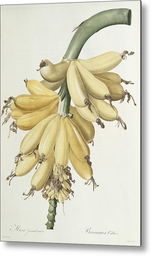 Banana Metal Print featuring the drawing Bananas by Pierre Joseph Redoute