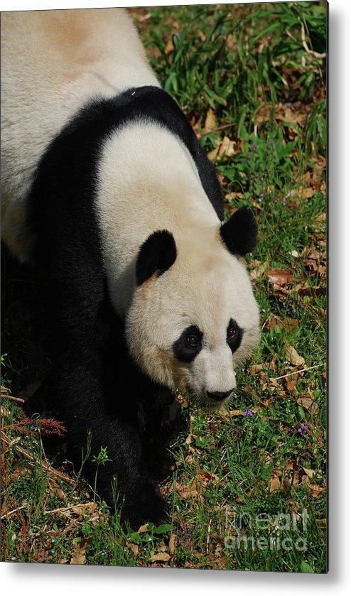 Panda Metal Print featuring the photograph Beautiful Giant Panda Bear Walking Through A Field by DejaVu Designs