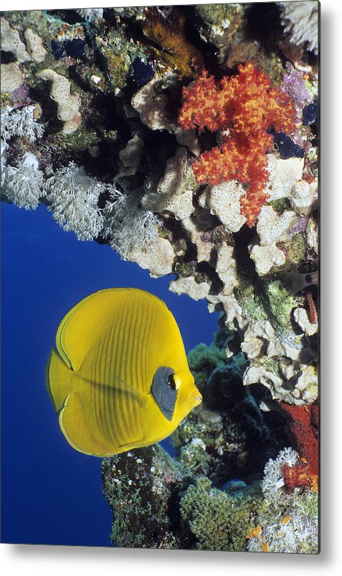 Chaetodon Semilarvatus Metal Print featuring the photograph Bluecheek Butterflyfish by Georgette Douwma