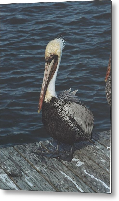 Bird Metal Print featuring the photograph Brown Pelican On Pier by Wendell Baggett