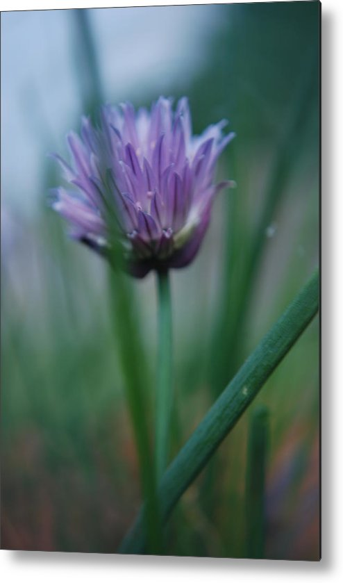 Nature Metal Print featuring the photograph Chive Flower 2 by Lisa Gabrius