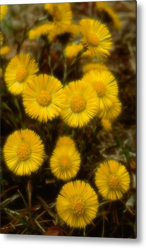 Wildflowers Metal Print featuring the photograph Coltsfoots Bouquet #4 by Irwin Barrett
