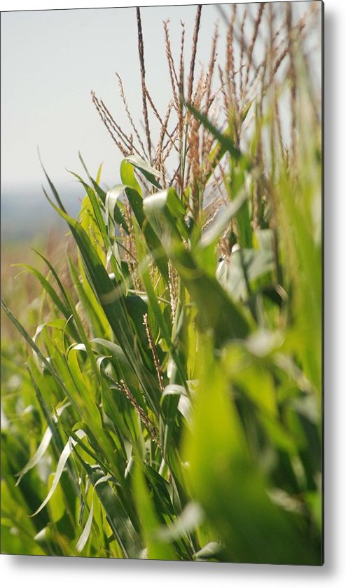 Corn Metal Print featuring the photograph Corn Country by Margaret Fortunato