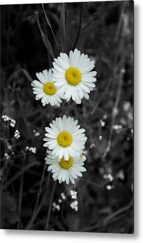 Daisy Metal Print featuring the photograph Daisies by Lisa Hebert