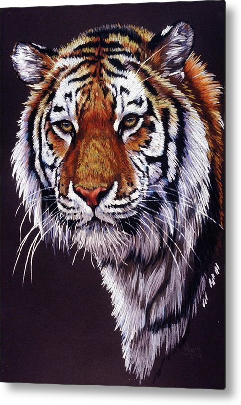 Tiger Metal Print featuring the drawing Desperado by Barbara Keith