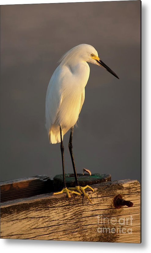 Egret Metal Print featuring the photograph Egret Glow by Mike Dawson