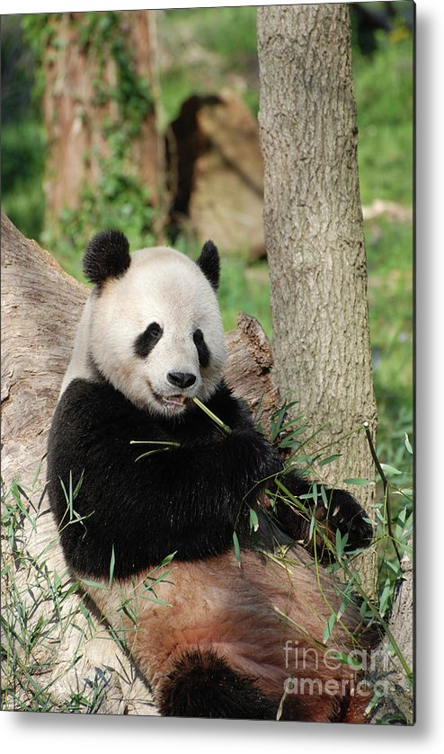 Panda Metal Print featuring the photograph Giant Panda Bear Lounging On Against Tree Trunk by DejaVu Designs