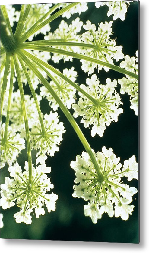 Flower Metal Print featuring the photograph Himalayan Hogweed Cowparsnip by American School